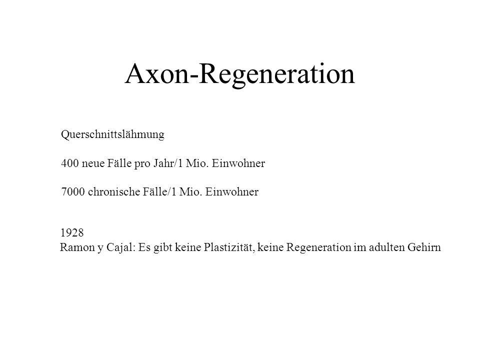 Axon-Regeneration Querschnittslähmung 400 neue Fälle pro Jahr/1 Mio. Einwohner 7000 chronische Fälle/1 Mio. Einwohner 1928 Ramon y Cajal: Es gibt kein