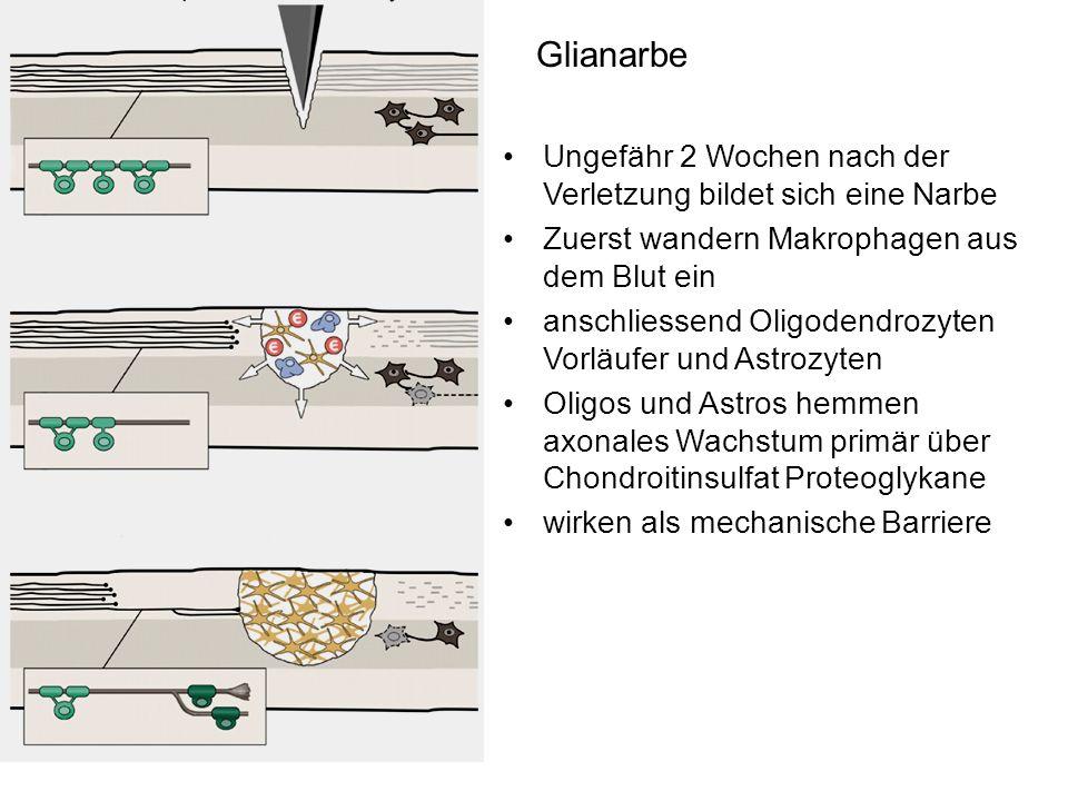 Glianarbe Ungefähr 2 Wochen nach der Verletzung bildet sich eine Narbe Zuerst wandern Makrophagen aus dem Blut ein anschliessend Oligodendrozyten Vorl