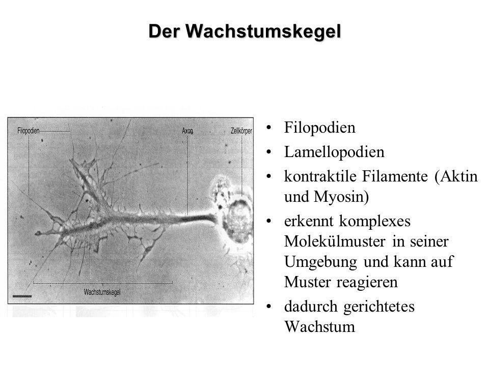 Der Wachstumskegel Filopodien Lamellopodien kontraktile Filamente (Aktin und Myosin) erkennt komplexes Molekülmuster in seiner Umgebung und kann auf M