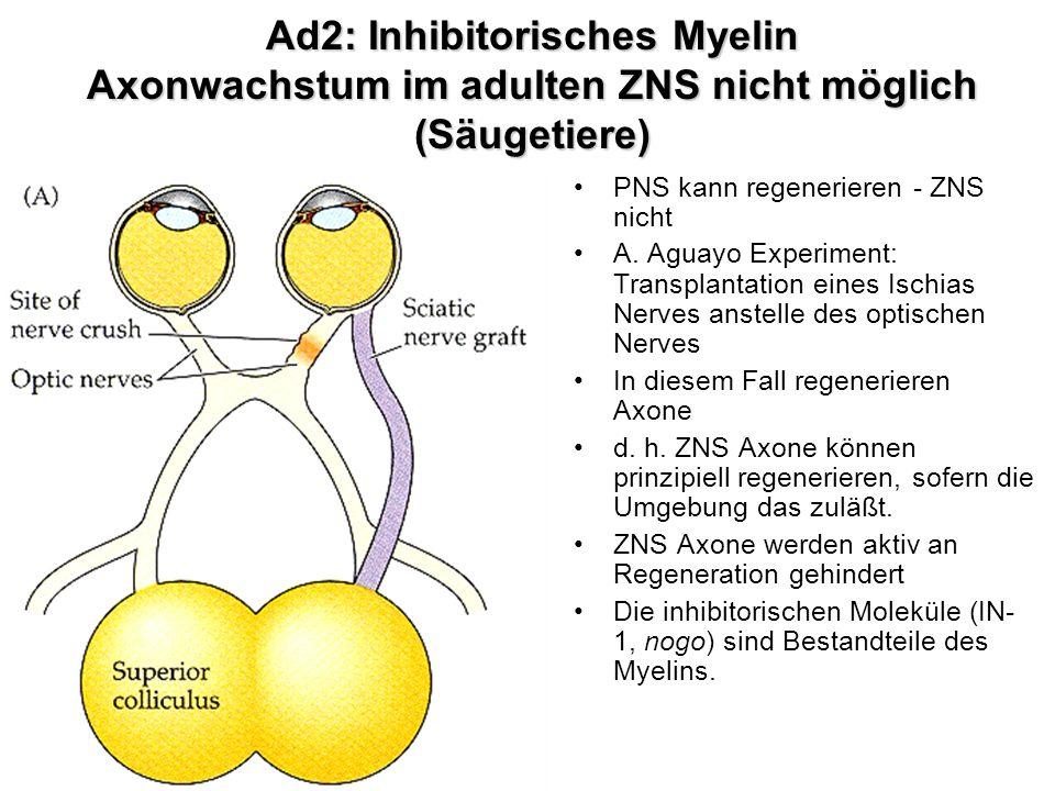 Ad2: Inhibitorisches Myelin Axonwachstum im adulten ZNS nicht möglich (Säugetiere) PNS kann regenerieren - ZNS nicht A. Aguayo Experiment: Transplanta