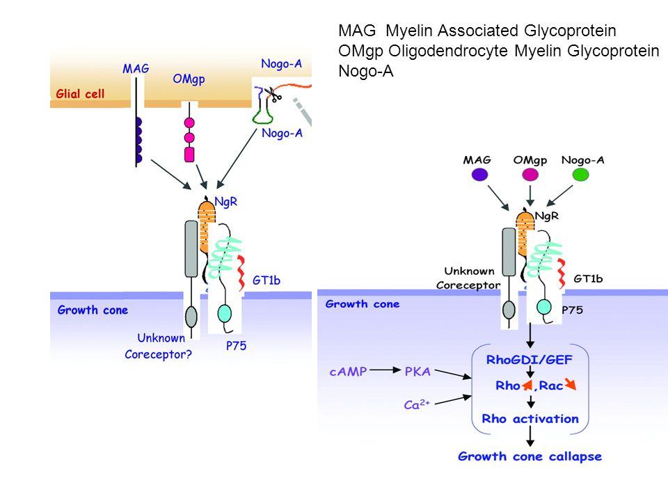 MAG Myelin Associated Glycoprotein OMgp Oligodendrocyte Myelin Glycoprotein Nogo-A