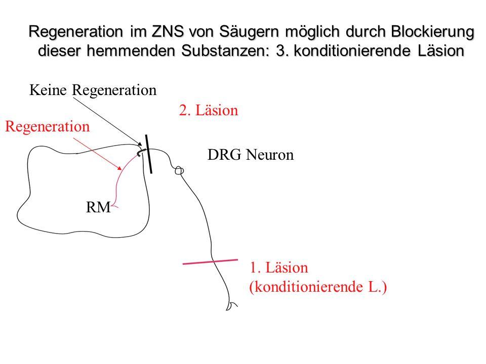 1. Läsion (konditionierende L.) 2. Läsion Keine Regeneration Regeneration DRG Neuron RM Läsion Regeneration im ZNS von Säugern möglich durch Blockieru