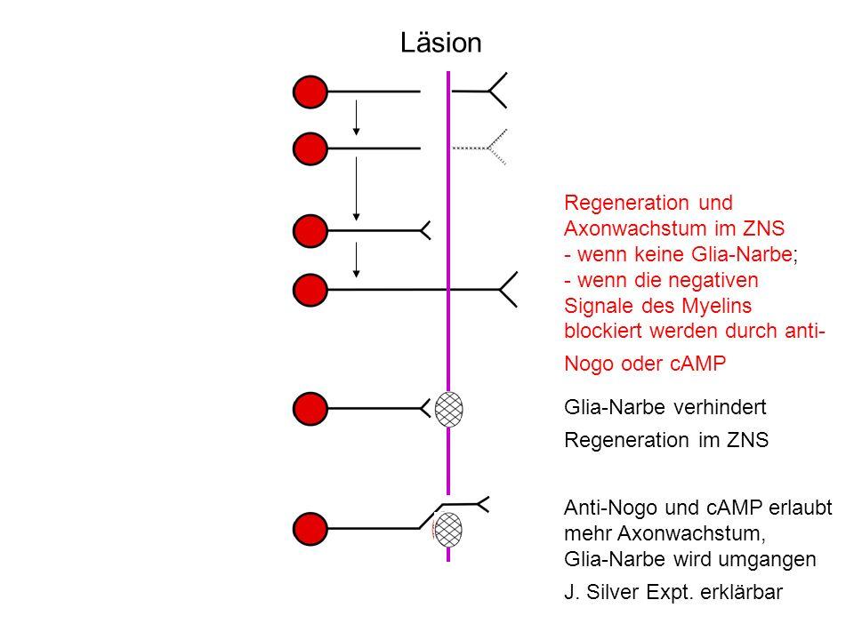 Läsion Regeneration und Axonwachstum im ZNS - wenn keine Glia-Narbe; - wenn die negativen Signale des Myelins blockiert werden durch anti- Nogo oder c