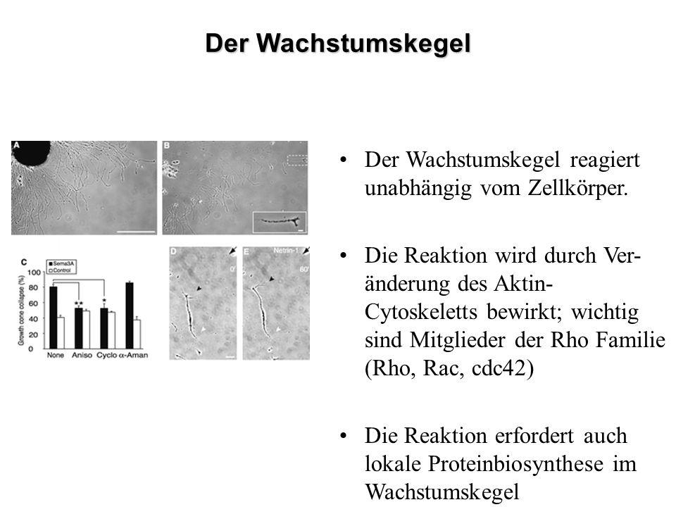 Läsion Regeneration im PNS, nicht im ZNS Glia-Narbe Inhibierendes Myelin
