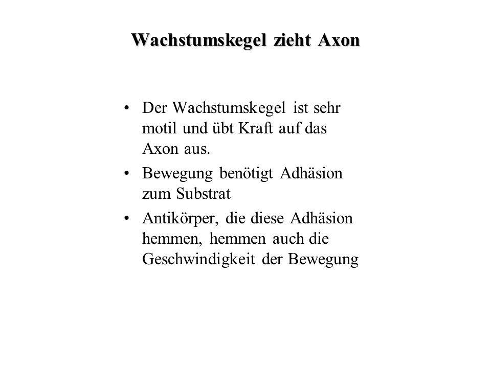 Wachstumskegel zieht Axon Der Wachstumskegel ist sehr motil und übt Kraft auf das Axon aus. Bewegung benötigt Adhäsion zum Substrat Antikörper, die di