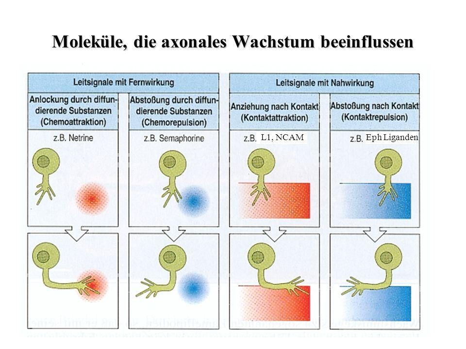 Glianarbe enthält Chondroitinsulfat-Proteoglycane und Collagen Blockierung der Collagensynthese oder Anti-Collagen-Antkörper ermöglicht Regeneration.