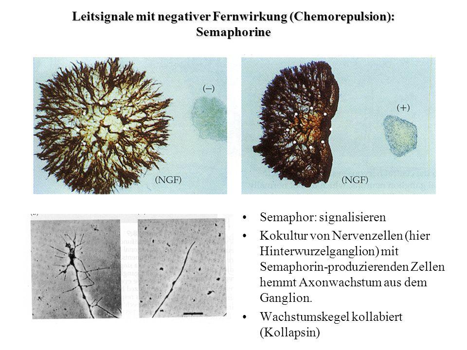 Leitsignale mit negativer Fernwirkung (Chemorepulsion): Semaphorine Semaphor: signalisieren Kokultur von Nervenzellen (hier Hinterwurzelganglion) mit