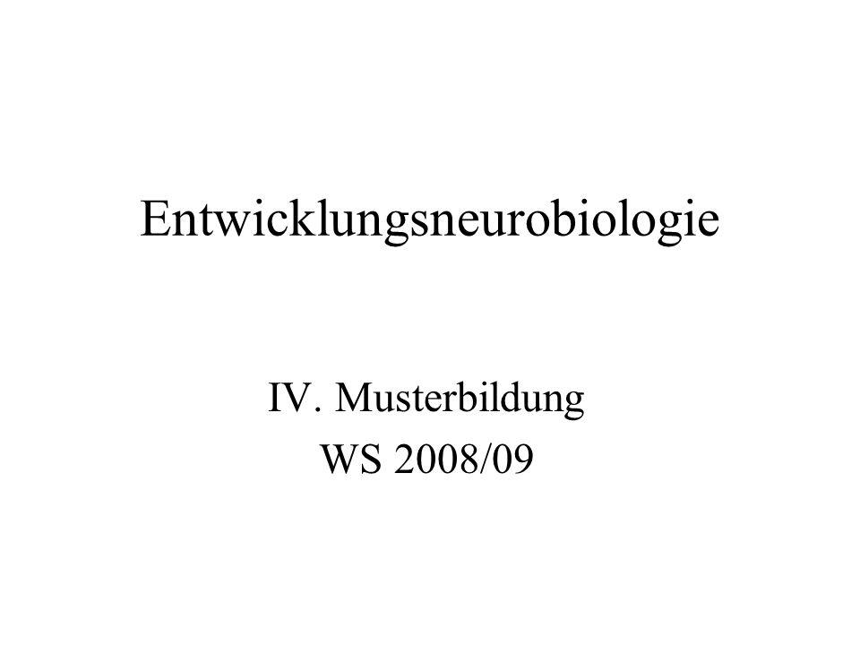 Entwicklungsneurobiologie IV. Musterbildung WS 2008/09