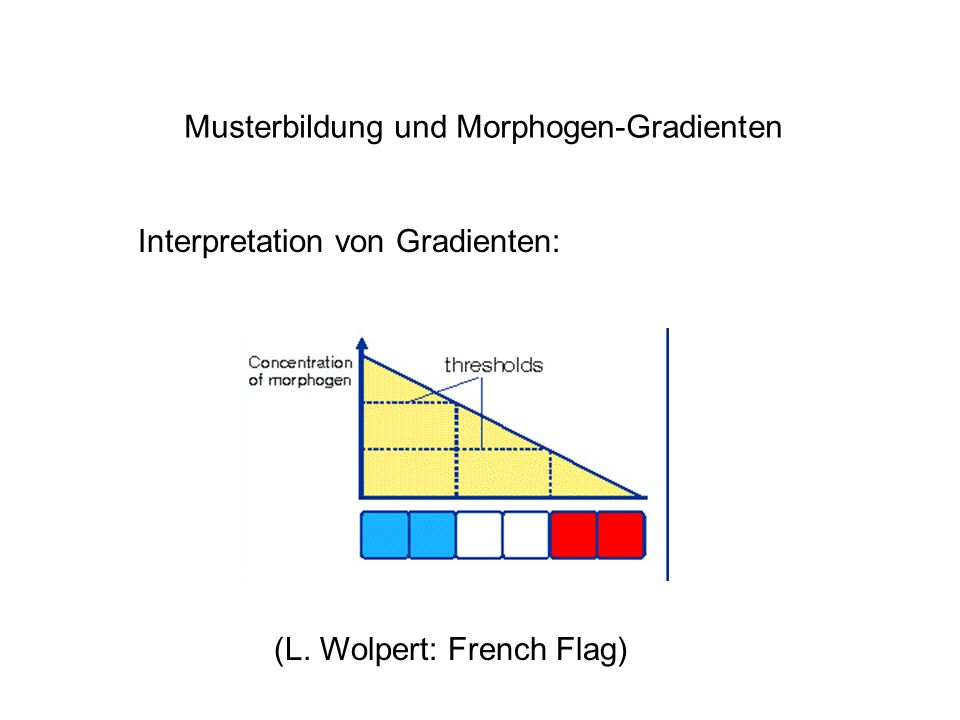 Musterbildung und Morphogen-Gradienten Interpretation von Gradienten: (L. Wolpert: French Flag)