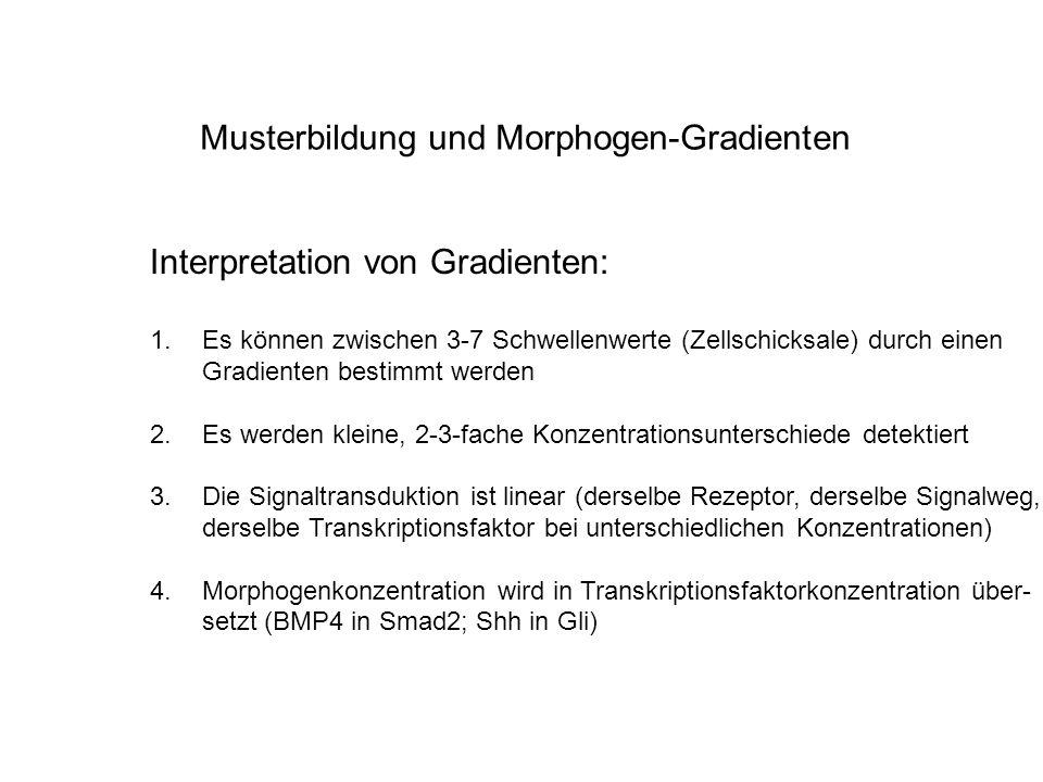 Musterbildung und Morphogen-Gradienten Interpretation von Gradienten: 1.Es können zwischen 3-7 Schwellenwerte (Zellschicksale) durch einen Gradienten