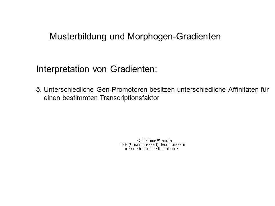 Musterbildung und Morphogen-Gradienten Interpretation von Gradienten: 5. Unterschiedliche Gen-Promotoren besitzen unterschiedliche Affinitäten für ein