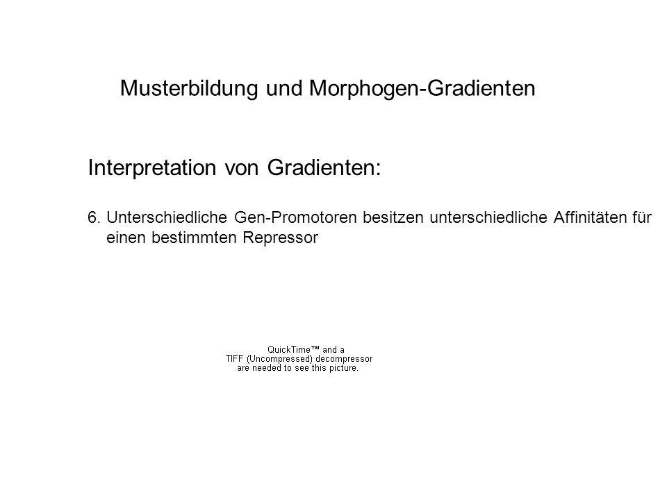 Musterbildung und Morphogen-Gradienten Interpretation von Gradienten: 6. Unterschiedliche Gen-Promotoren besitzen unterschiedliche Affinitäten für ein