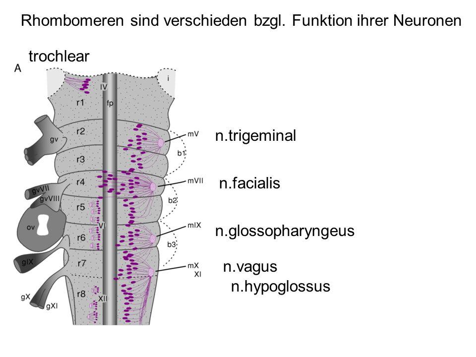 trochlear n.trigeminal n.facialis n.glossopharyngeus n.vagus n.hypoglossus Rhombomeren sind verschieden bzgl. Funktion ihrer Neuronen