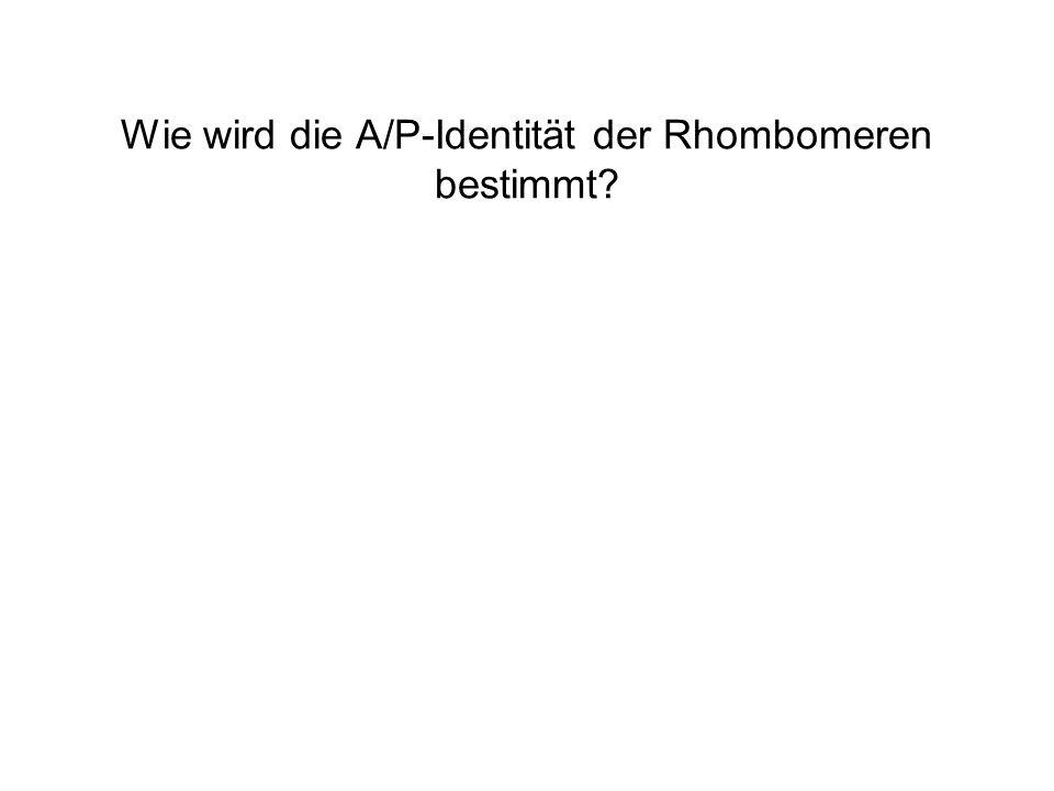 Wie wird die A/P-Identität der Rhombomeren bestimmt?