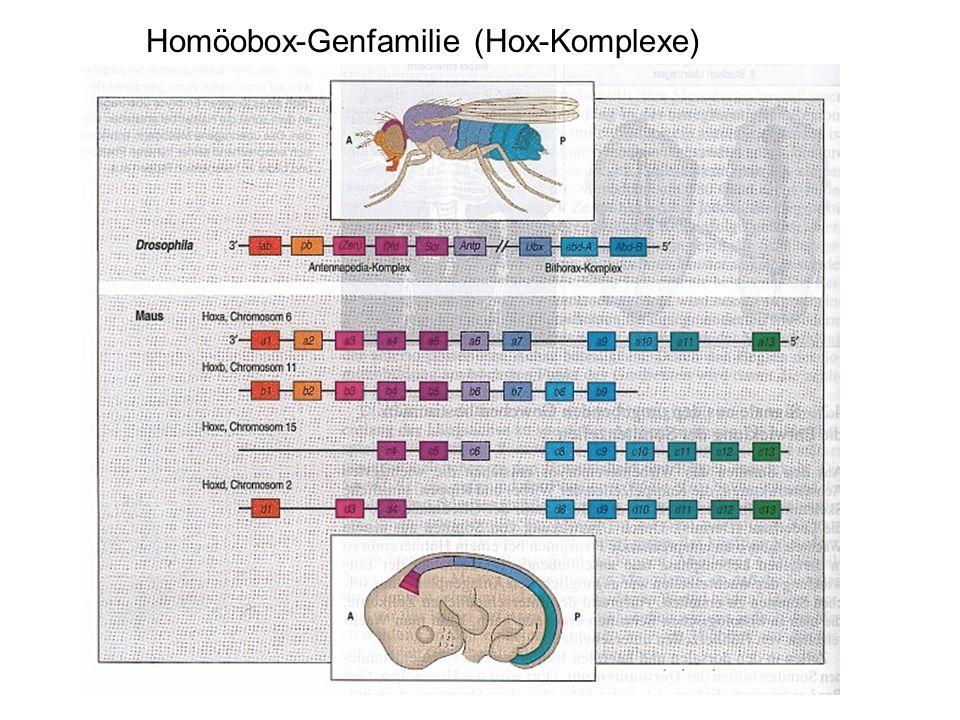 Homöobox-Genfamilie (Hox-Komplexe)