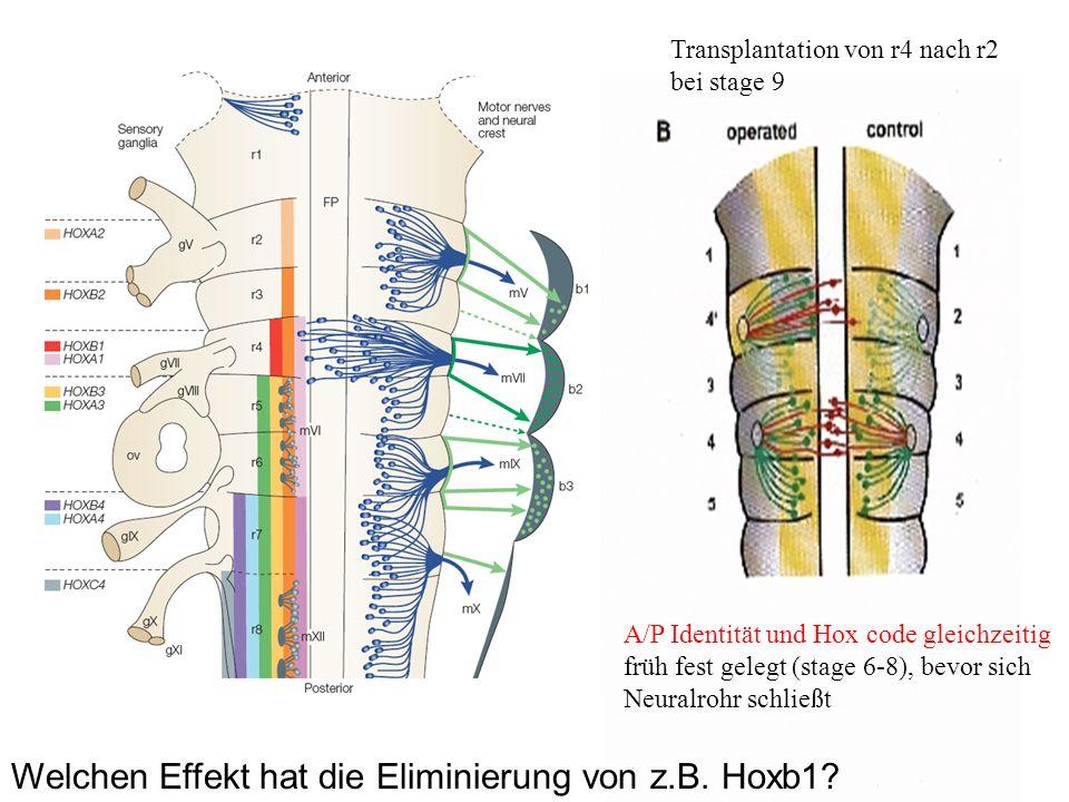 Transplantation von r4 nach r2 bei stage 9 A/P Identität und Hox code gleichzeitig früh fest gelegt (stage 6-8), bevor sich Neuralrohr schließt Welche