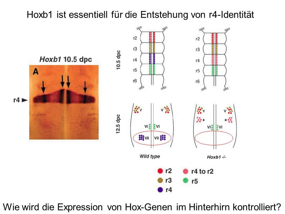 Wie wird die Expression von Hox-Genen im Hinterhirn kontrolliert? Hoxb1 ist essentiell für die Entstehung von r4-Identität