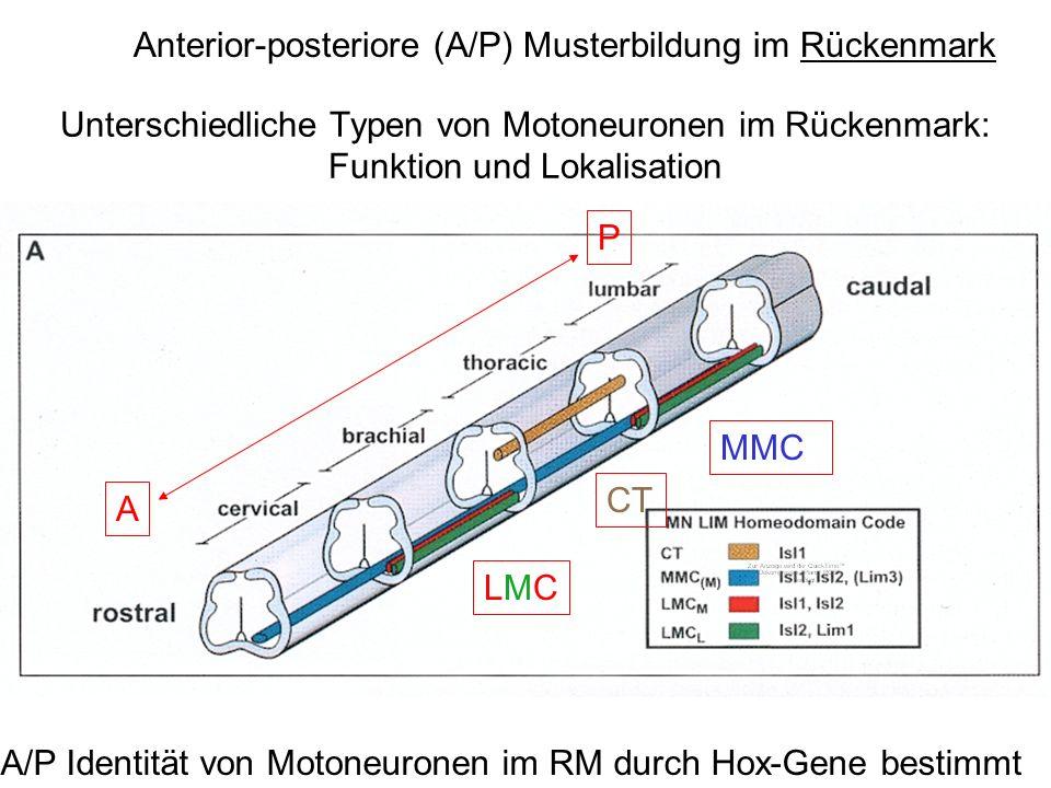 Unterschiedliche Typen von Motoneuronen im Rückenmark: Funktion und Lokalisation A P A/P Identität von Motoneuronen im RM durch Hox-Gene bestimmt Ante