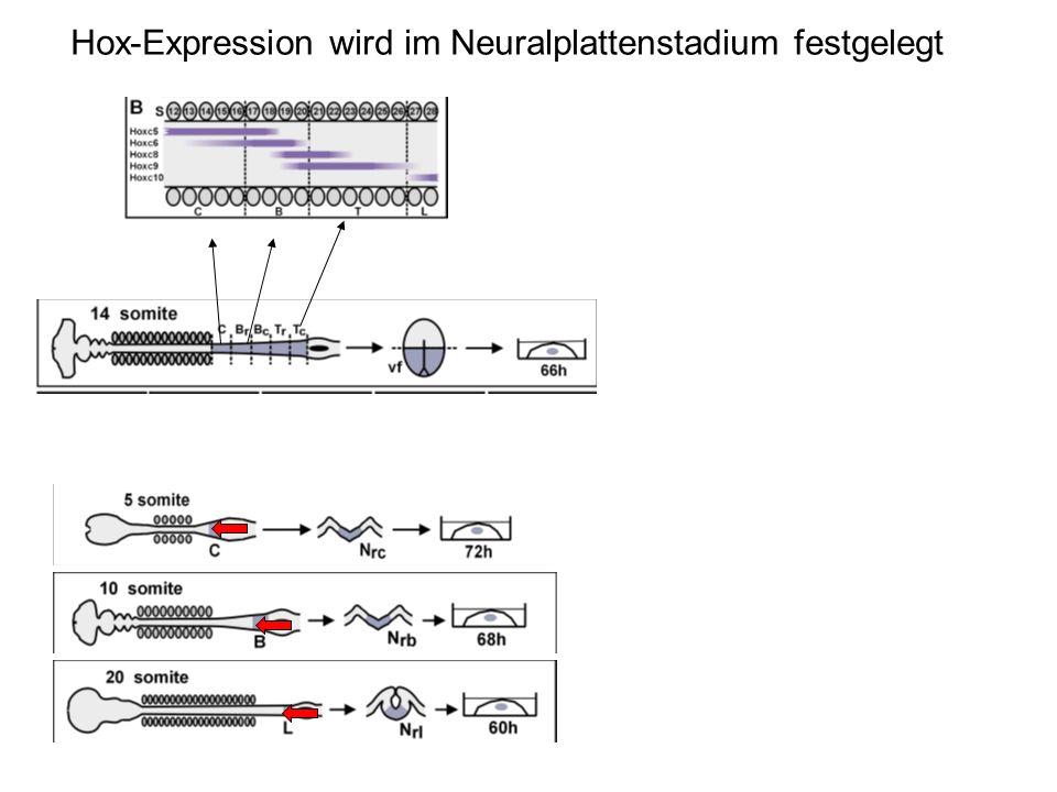Hox-Expression wird im Neuralplattenstadium festgelegt