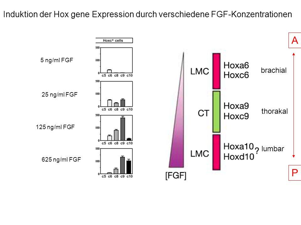 Induktion der Hox gene Expression durch verschiedene FGF-Konzentrationen 625 ng/ml FGF 5 ng/ml FGF 25 ng/ml FGF 125 ng/ml FGF A P brachial thorakal lu