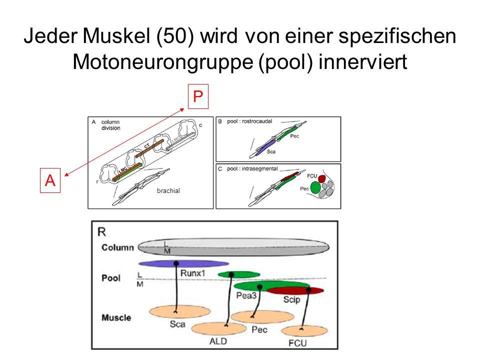 Jeder Muskel (50) wird von einer spezifischen Motoneurongruppe (pool) innerviert brachial A P
