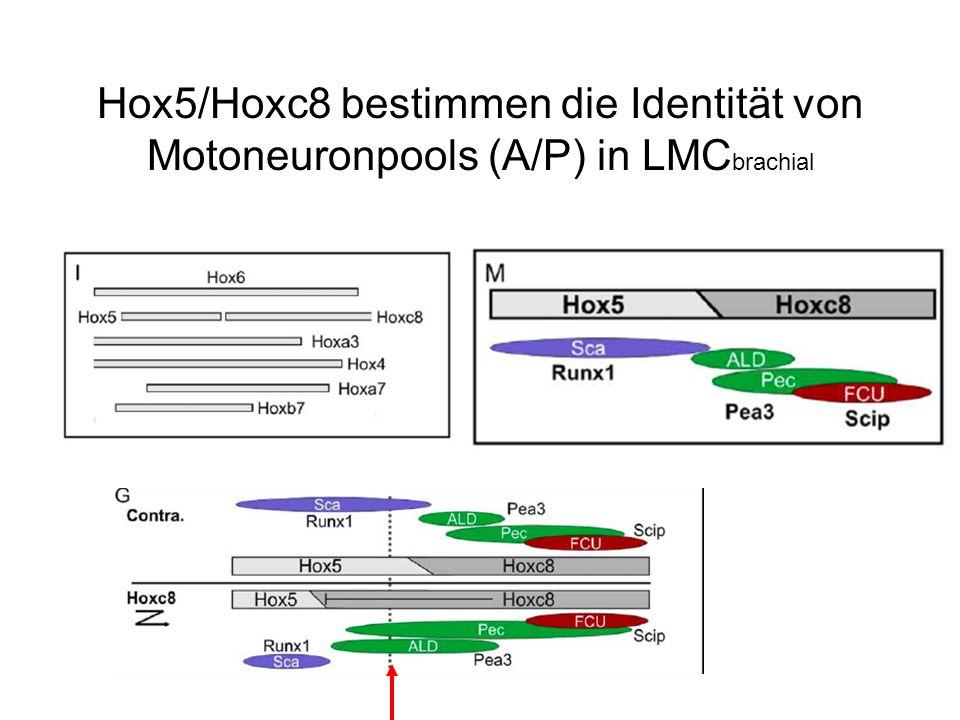 Hox5/Hoxc8 bestimmen die Identität von Motoneuronpools (A/P) in LMC brachial