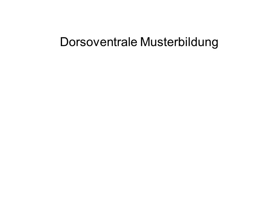 Dorsoventrale Musterbildung
