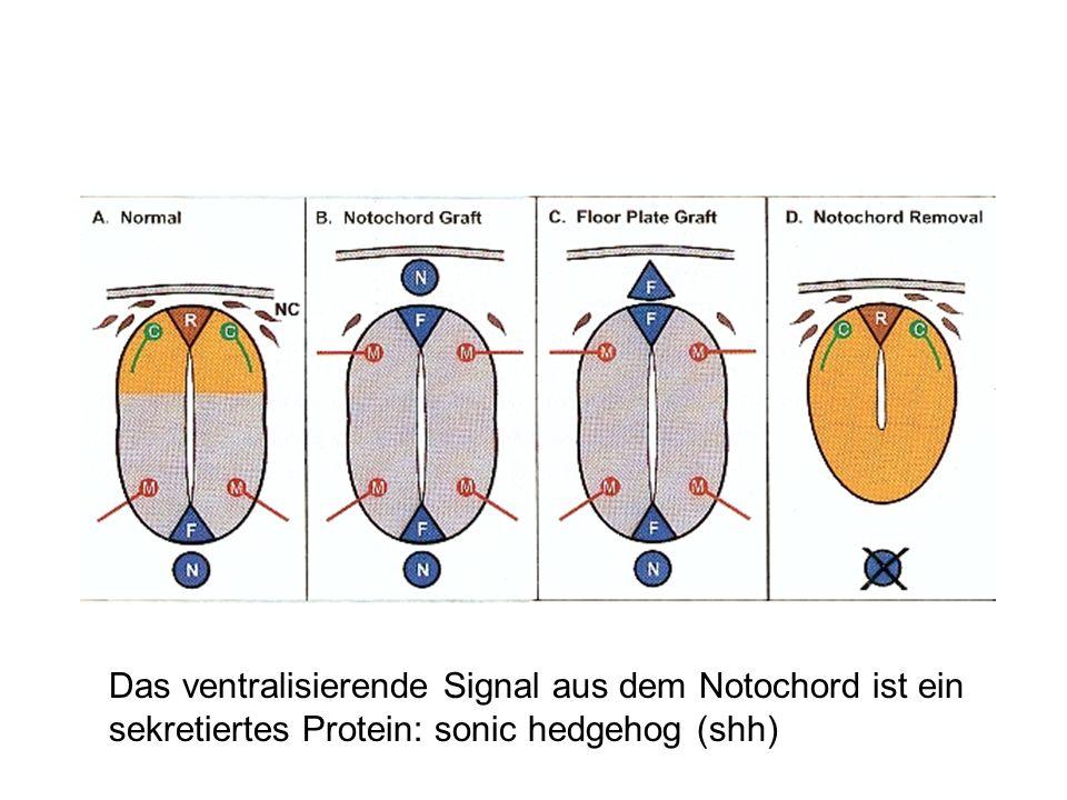 Das ventralisierende Signal aus dem Notochord ist ein sekretiertes Protein: sonic hedgehog (shh)