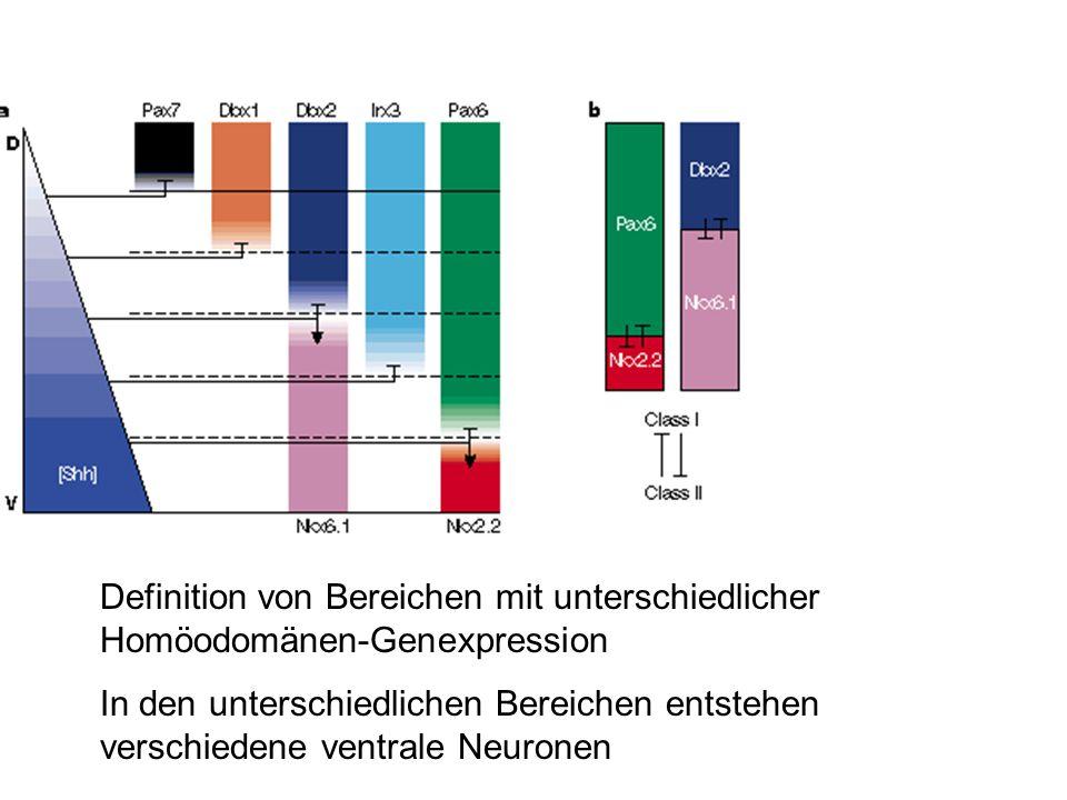 Definition von Bereichen mit unterschiedlicher Homöodomänen-Genexpression In den unterschiedlichen Bereichen entstehen verschiedene ventrale Neuronen