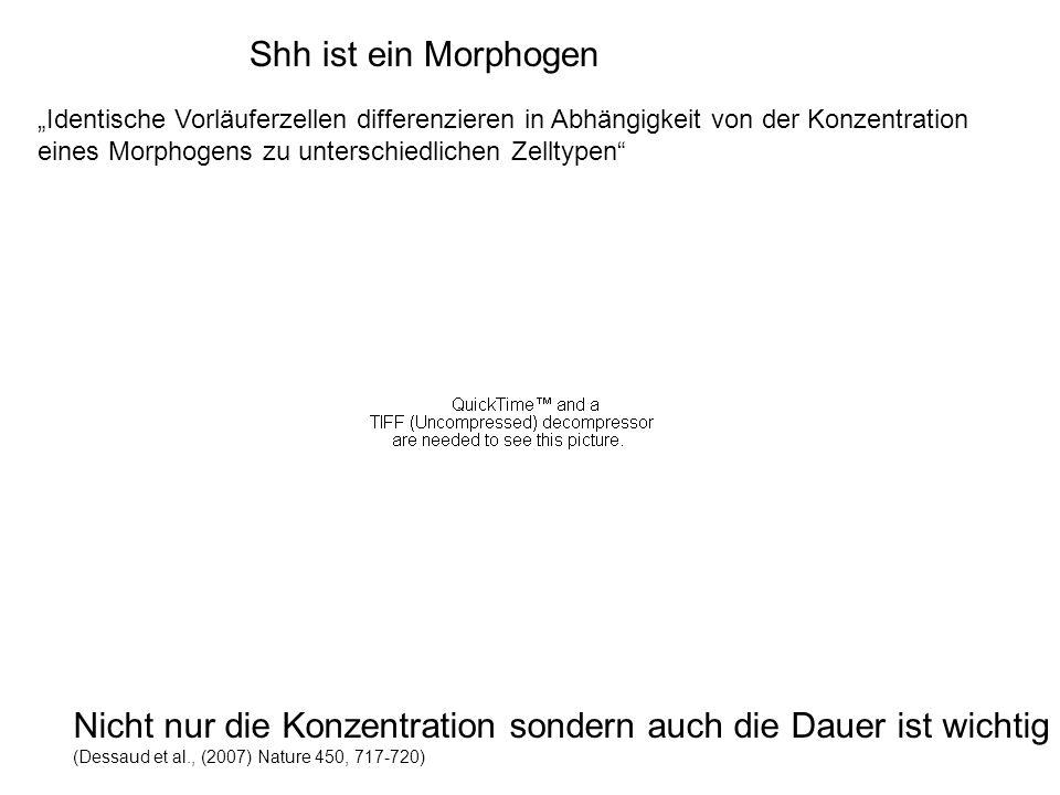 Shh ist ein Morphogen Nicht nur die Konzentration sondern auch die Dauer ist wichtig (Dessaud et al., (2007) Nature 450, 717-720) Identische Vorläufer