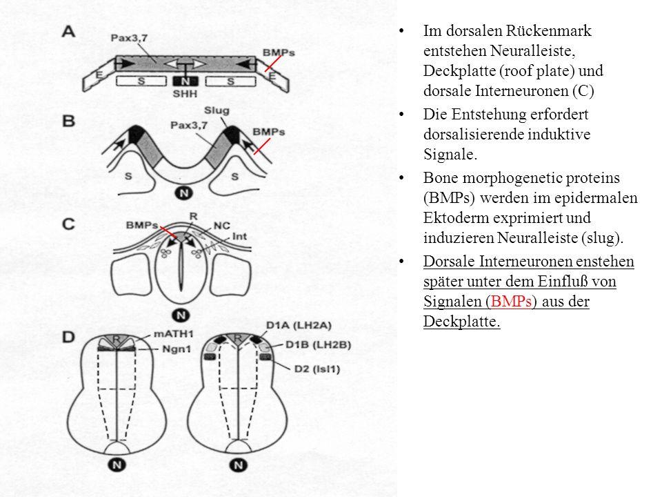 Im dorsalen Rückenmark entstehen Neuralleiste, Deckplatte (roof plate) und dorsale Interneuronen (C) Die Entstehung erfordert dorsalisierende induktiv