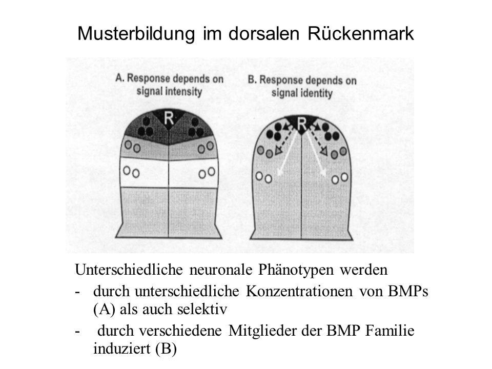 Musterbildung im dorsalen Rückenmark Unterschiedliche neuronale Phänotypen werden -durch unterschiedliche Konzentrationen von BMPs (A) als auch selekt