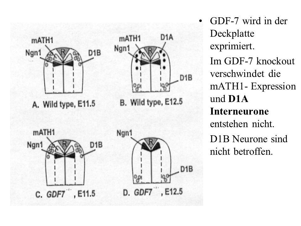 GDF-7 wird in der Deckplatte exprimiert. Im GDF-7 knockout verschwindet die mATH1- Expression und D1A Interneurone entstehen nicht. D1B Neurone sind n