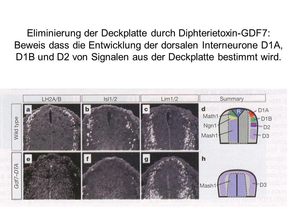 Eliminierung der Deckplatte durch Diphterietoxin-GDF7: Beweis dass die Entwicklung der dorsalen Interneurone D1A, D1B und D2 von Signalen aus der Deck