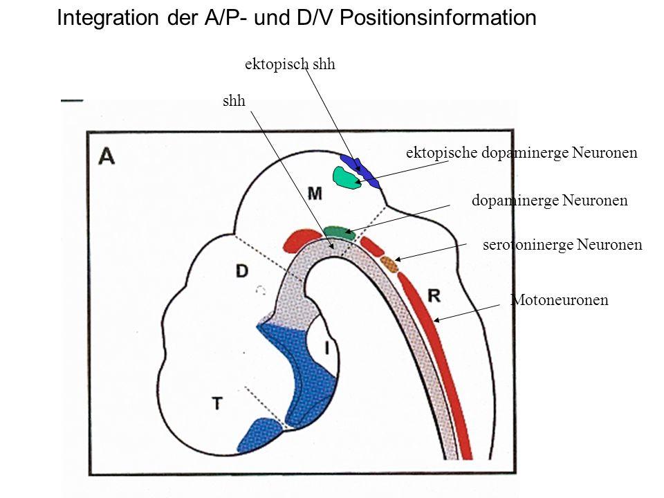 ektopisch shh ektopische dopaminerge Neuronen dopaminerge Neuronen shh serotoninerge Neuronen Motoneuronen Integration der A/P- und D/V Positionsinfor