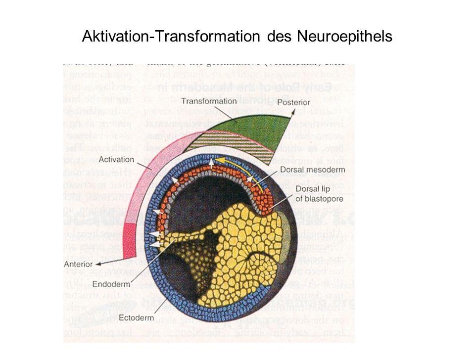 Aktivation-Transformation des Neuroepithels