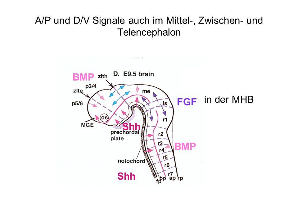 A/P und D/V Signale auch im Mittel-, Zwischen- und Telencephalon Shh BMP Shh BMP FGF in der MHB