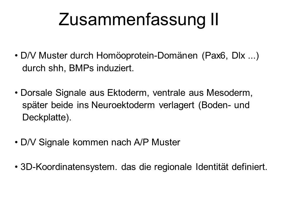 D/V Muster durch Homöoprotein-Domänen (Pax6, Dlx...) durch shh, BMPs induziert. Dorsale Signale aus Ektoderm, ventrale aus Mesoderm, später beide ins