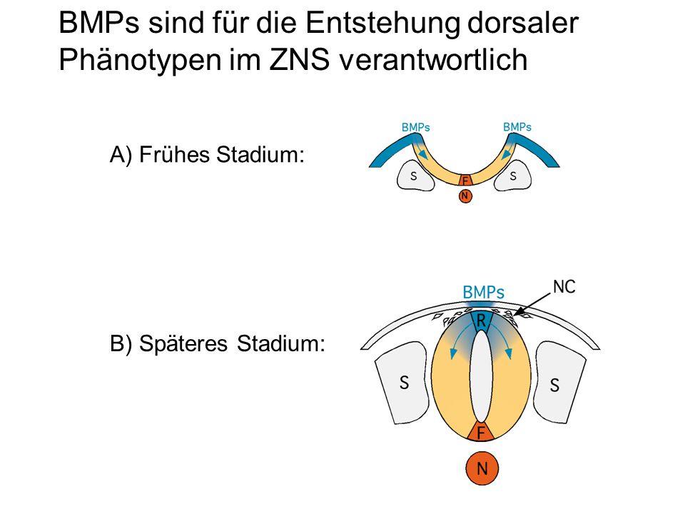 BMPs sind für die Entstehung dorsaler Phänotypen im ZNS verantwortlich A) Frühes Stadium: B) Späteres Stadium: