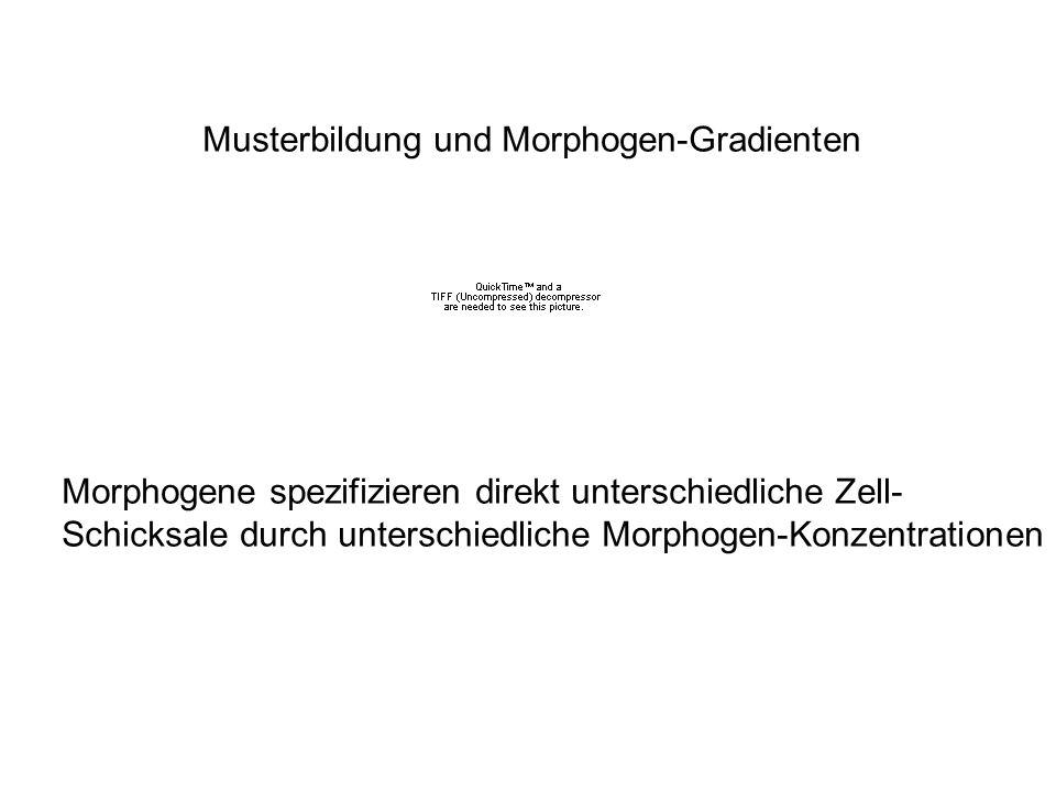 Musterbildung und Morphogen-Gradienten Morphogene spezifizieren direkt unterschiedliche Zell- Schicksale durch unterschiedliche Morphogen-Konzentratio