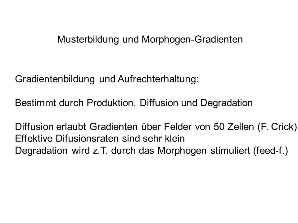 Musterbildung und Morphogen-Gradienten Gradientenbildung und Aufrechterhaltung: Bestimmt durch Produktion, Diffusion und Degradation Diffusion erlaubt