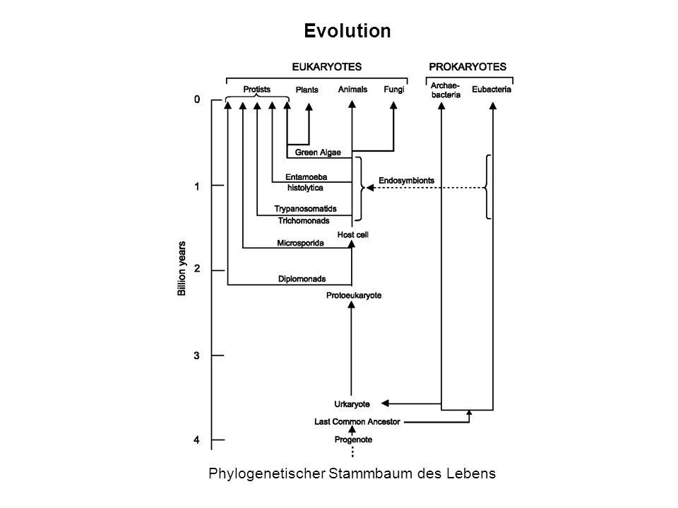 Phylogenetischer Stammbaum des Lebens Evolution
