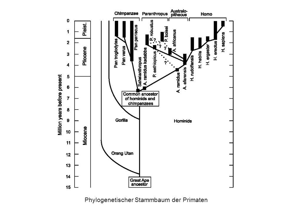 Phylogenetischer Stammbaum der Primaten