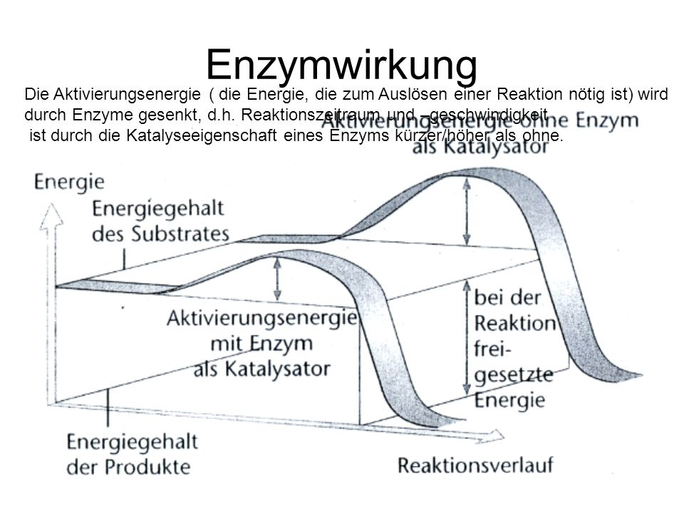 Enzymwirkung Die Aktivierungsenergie ( die Energie, die zum Auslösen einer Reaktion nötig ist) wird durch Enzyme gesenkt, d.h. Reaktionszeitraum und –