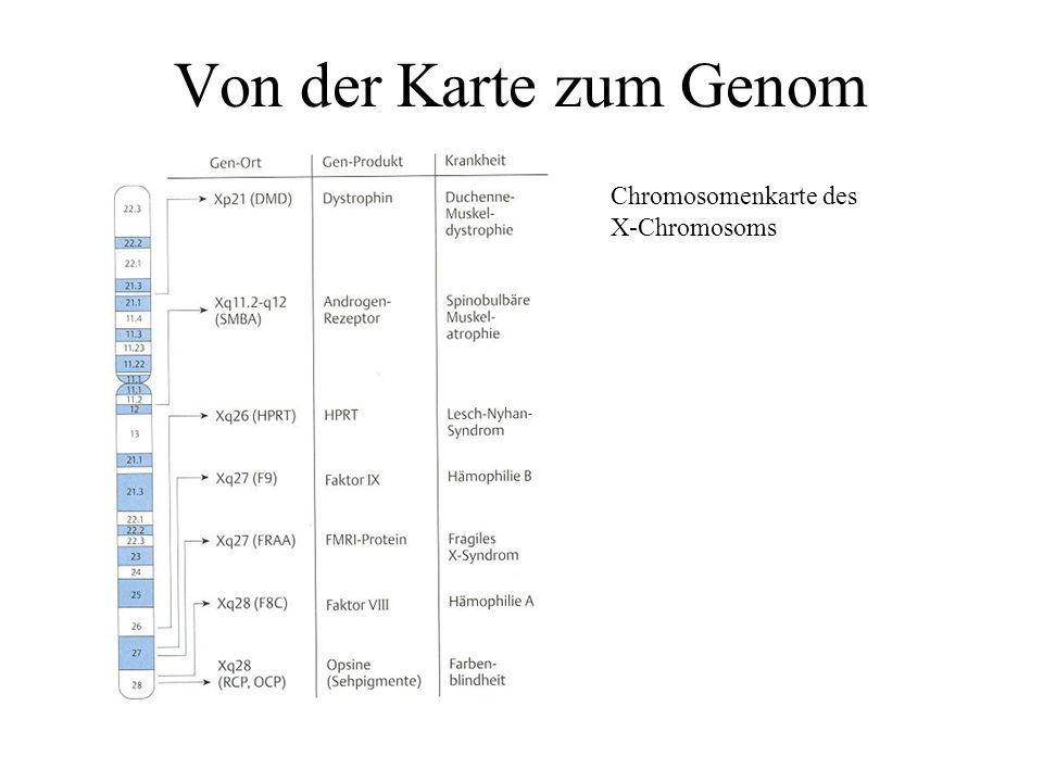 30.000 Gene beim Menschen Größe der Gene: ca. 10 - 15 kb Abstand zwischen Genen: ca. 60 - 70 kb