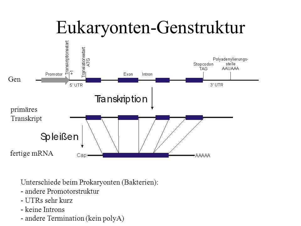 Eukaryonten-Genstruktur Unterschiede beim Prokaryonten (Bakterien): - andere Promotorstruktur - UTRs sehr kurz - keine Introns - andere Termination (kein polyA) Gen primäres Transkript fertige mRNA