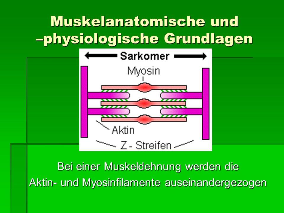 Muskelanatomische und –physiologische Grundlagen Bei einer Muskeldehnung werden die Aktin- und Myosinfilamente auseinandergezogen