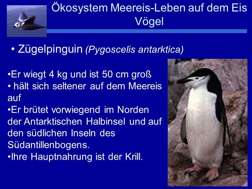 Ökosystem Meereis-Leben auf dem Eis Pinguine Kaiserpinguin (Aptenodytes patagonica) Kommt nur in der Antarktis vor wiegt 40 kg, ist über einen Meter groß brütet als einziger auf dem Eis legt nur ein Ei Er ernährt sich von kleinen Fischen und von Krill