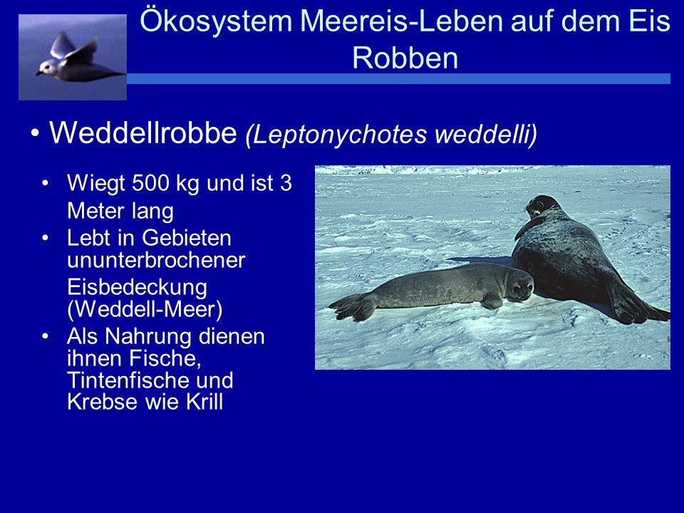 Ökosystem Meereis-Leben auf dem Eis Robben Sie ist etwas kleiner als die Weddellrobbe Lebt weiter nördlich im antarktischen Packeis Ernährt sich von über- wiegend von Krebsen Besitzt spezielles Gebiss zum Heraussieben von Krill Krabbenesserrobbe (Lobodon carcinophagus)