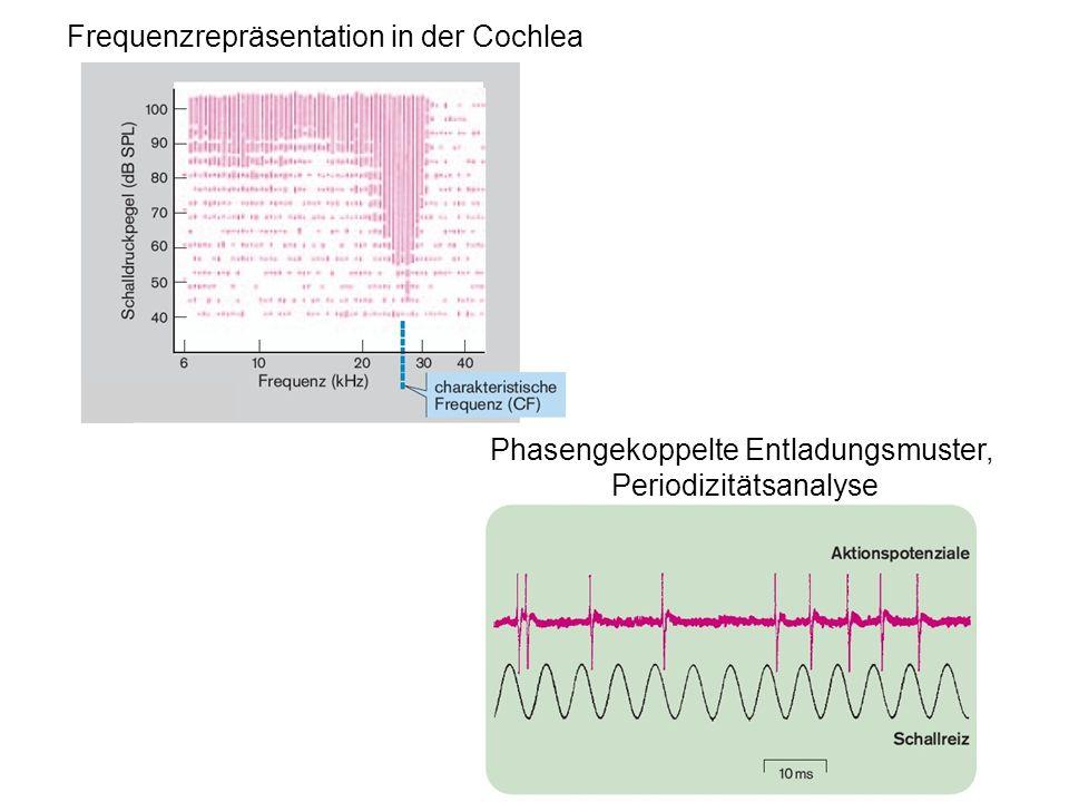 Frequenzrepräsentation in der Cochlea Phasengekoppelte Entladungsmuster, Periodizitätsanalyse